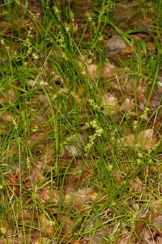 Carex Texensis