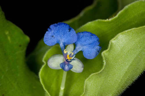 Commelina benghalensis #24