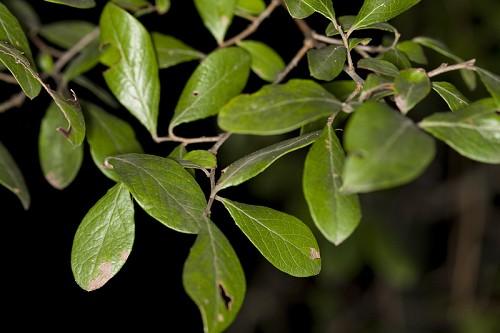 Vaccinium Arboreum Leaf