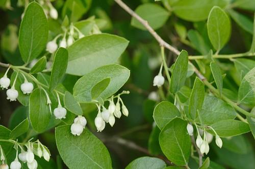 Common name s tree sparkleberry
