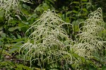 Goat's beard&nbsp;<BR>Bride's feathers