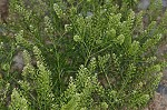 Virginia pepperweed