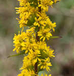 Roan Mountain goldenrod